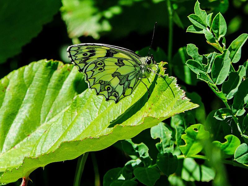 butterfly-2442467_960_720