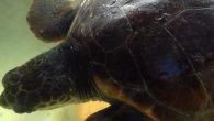 Tartaruga Cropped
