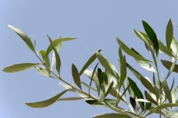 ramo ulivo